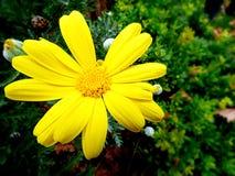 La marguerite jaune photographie stock libre de droits