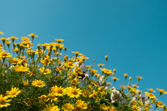 La marguerite jaune fleurit le champ de pré avec le ciel bleu clair, lumière lumineuse de jour bel été de floraison naturel de ma Images stock