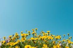 La marguerite jaune fleurit le champ de pré avec le ciel bleu clair, lumière lumineuse de jour bel été de floraison naturel de ma Photographie stock libre de droits