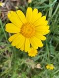 La marguerite jaune photo libre de droits