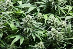 La marijuana germoglia in pieno dei cristalli Fotografia Stock