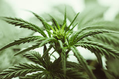 La marijuana lascia le piante fotografia stock