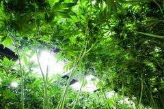 La marijuana médica en un interior crece la instalación foto de archivo libre de regalías