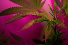 La marijuana medica dell'interno si sviluppa Fotografia Stock Libera da Diritti