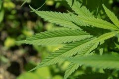 La marijuana va, cannabis su un fondo scuro, bello fondo, coltivazione dell'interno Alta qualità della cannabis Marijuana di stru Immagini Stock Libere da Diritti