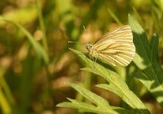La mariposa. Fotografía de archivo libre de regalías