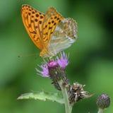 La mariposa Fotografía de archivo libre de regalías