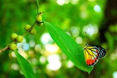 La mariposa Imágenes de archivo libres de regalías
