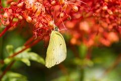 La mariposa amarilla come el néctar Imagen de archivo libre de regalías