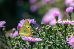 La mariposa amarilla recoge el néctar en un brote de Astra Verghinas Fotografía de archivo libre de regalías