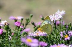 La mariposa amarilla recoge el néctar en un brote de Astra Verghinas Foto de archivo libre de regalías