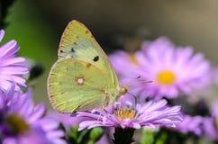 La mariposa amarilla recoge el néctar en un brote de Astra Verghinas Imagen de archivo