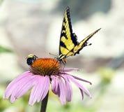 La mariposa amarilla y manosea la flor de la parte de la abeja Imágenes de archivo libres de regalías