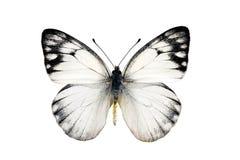 La mariposa, amarillea Jezabel manchado Imagenes de archivo