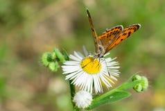 La mariposa anaranjada en una flor de la manzanilla Fotografía de archivo