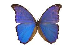 La mariposa azul 5 Foto de archivo