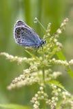 La mariposa azul clara. Foto de archivo libre de regalías