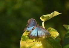 La mariposa azul de Morpho con sus alas separó abierto de par en par Imagen de archivo