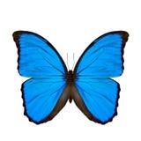 La mariposa azul de Morpho (desambiguación) o puesta del sol Morpho Fotos de archivo libres de regalías