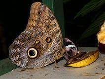 La mariposa azul de Morpho regales la fruta (SP de Caligo ) Imágenes de archivo libres de regalías