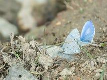 La mariposa azul del acebo en Lamtaklong, Tailandia imagenes de archivo