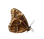 La mariposa azul del morpho (peleides de Morpho) Imagen de archivo