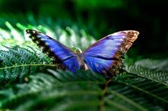 La mariposa azul se encaramó en una hoja verde del helecho Fotos de archivo