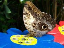 La mariposa bebe el néctar Fotos de archivo