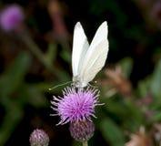 La mariposa blanca Foto de archivo libre de regalías