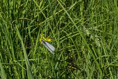 La mariposa blanca americana del parásito de insecto, el crataegi Negro-veteado del blanco, de Aporia o el cunea de Hyphantria en fotos de archivo