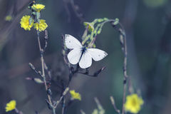La mariposa blanca asoma sobre las flores amarillas que recoge el néctar Imagenes de archivo