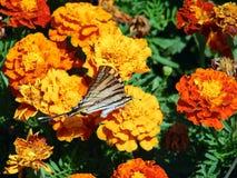 La mariposa blanca hermosa se sienta en las flores anaranjadas Fotos de archivo