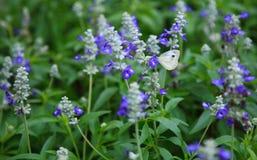 La mariposa blanca recoge el polen en el florecimiento de nombre común del pensamiento púrpura del jardín: viola, violeta, hearts foto de archivo