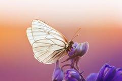 la mariposa blanca se sienta en una flor azul en día de verano soleado Fotos de archivo