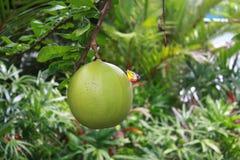 La mariposa colorida con la fruta verde Imagen de archivo libre de regalías