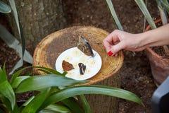 La mariposa come de una placa del plátano cortado del ‹del †del ‹del †Fotos de archivo
