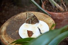 La mariposa come de una placa del plátano cortado del ‹del †del ‹del †Fotografía de archivo libre de regalías