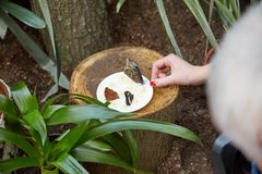 La mariposa come de una placa del plátano cortado del ‹del †del ‹del †Imagen de archivo libre de regalías