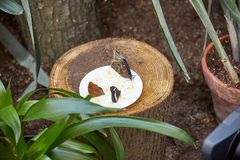 La mariposa come de una placa del plátano cortado del ‹del †del ‹del †Imágenes de archivo libres de regalías