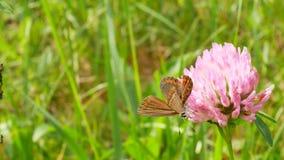 La mariposa de Brown con las alas anaranjadas se sienta en la flor del trébol metrajes