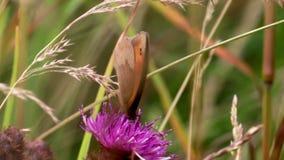 La mariposa de Brown del prado que recolectaba el néctar, polen de un campo común knotweed la cabeza de flor púrpura, junio, Esco metrajes