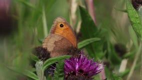 La mariposa de Brown del prado que recolectaba el néctar, polen de un campo común knotweed la cabeza de flor púrpura, junio, Esco almacen de video