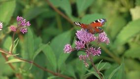 La mariposa de Brown se sienta en una flor de la lavanda almacen de metraje de vídeo