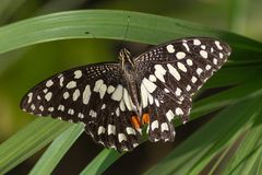 La mariposa de la cal/del limón o cal/marcó con cuadros Swallowtail en un demoleus rojo de Papilio de la flor foto de archivo libre de regalías