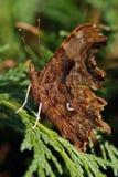 La mariposa de coma (c-álbum del Polygonia) Imagenes de archivo