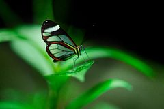 La mariposa de Glasswinged o el glasswing descansa sobre una hoja imágenes de archivo libres de regalías