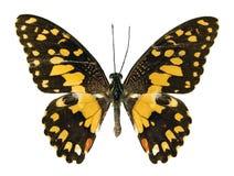 La mariposa de la cal Fotografía de archivo
