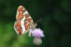 La mariposa de la correspondencia, prorsa del levana de Araschnia Imagen de archivo libre de regalías