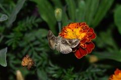 La mariposa de las alas se separó en la flor Foto de archivo