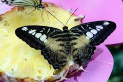 La mariposa de las podadoras Imagen de archivo